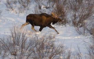 Самодельный манок на утку и лося для охотника