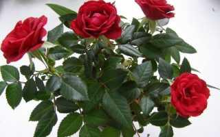 Как вырастить черенки розы в клубнях картофеля своими руками