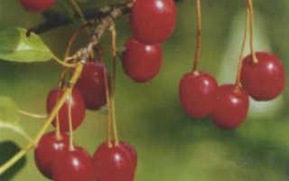 Как сделать приспособление для сбора вишни